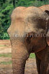 SRI LANKA, Pinnewala Elephant Orphanage, adult elephant closeup, SLK2380JPL