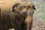 SRI LANKA, Pinnewala Elephant Orphanage, adult elephant closeup, SLK2389JPL