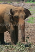 SRI LANKA, Pinnewala Elephant Orphanage, adult elephant closeup, SLK2390JPL