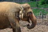 SRI LANKA, Pinnewala Elephant Orphanage, adult elephant closeup, SLK2396JPL