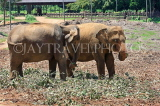 SRI LANKA, Pinnewala Elephant Orphanage, adult elephants, SLK2387JPL