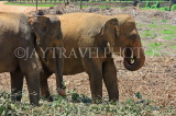 SRI LANKA, Pinnewala Elephant Orphanage, adult elephants, SLK2388JPL