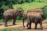 SRI LANKA, Pinnewala Elephant Orphanage, adult elephants, SLK2407JPL