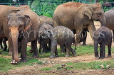 SRI LANKA, Pinnewala Elephant Orphanage, elephant herd and babies, SLK2366JPL