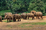 SRI LANKA, Pinnewala Elephant Orphanage, elephant herd freely roaming, SLK2402JPL