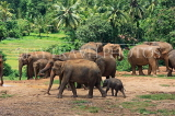 SRI LANKA, Pinnewala Elephant Orphanage, elephant herd freely roaming, SLK2403JPL
