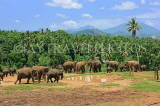 SRI LANKA, Pinnewala Elephant Orphanage, elephant herd roaming freely, SLK2381JPL