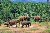 SRI LANKA, Pinnewala Elephant Orphanage, elephant herd roaming freely, SLK2382JPL