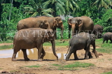 SRI LANKA, Pinnewala Elephant Orphanage, elephant herd roaming freely, SLK2383JPL