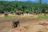 SRI LANKA, Pinnewala Elephant Orphanage, elephant roaming freely, SLK2415JPL