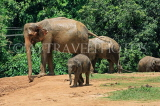 SRI LANKA, Pinnewala Elephant Orphanage, elephants and baby, SLK2404JPL