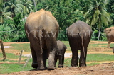 SRI LANKA, Pinnewala Elephant Orphanage, elephants and baby, SLK2405JPL