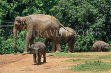 SRI LANKA, Pinnewala Elephant Orphanage, elephants and baby, SLK2406JPL
