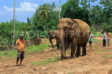 SRI LANKA, Pinnewala Elephant Orphanage, elephants and mahout, SLK2373JPL