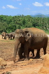 SRI LANKA, Pinnewala Elephant Orphanage, elephants roaming, SLK2292JPL