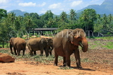 SRI LANKA, Pinnewala Elephant Orphanage, elephants roaming freely, SLK2288JPL