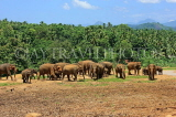 SRI LANKA, Pinnewala Elephant Orphanage, elephants roaming freely, SLK2289JPL