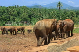 SRI LANKA, Pinnewala Elephant Orphanage, elephants roaming freely, SLK2296JPL