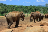 SRI LANKA, Pinnewala Elephant Orphanage, elephants roaming freely, SLK2297JPL