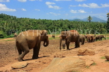 SRI LANKA, Pinnewala Elephant Orphanage, elephants roaming freely, SLK2298JPL