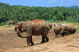 SRI LANKA, Pinnewala Elephant Orphanage, elephants roaming freely, SLK2300JPL