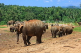 SRI LANKA, Pinnewala Elephant Orphanage, elephants roaming freely, SLK2301JPL