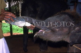 SRI LANKA, Pinnewala Elephant Orphanage, three month calf being bottle fed, SLK155JPL