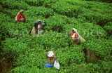 SRI LANKA, hill country, Tea plantation and workers (near Nuwara Eliya), SLK147JPL