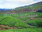 SRI LANKA, hill country, Tea plantation near Nuwara Eliya, SLK1522JPL