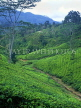 SRI LANKA, hill country, Tea plantation near Nuwara Eliya, SLK1523JPL