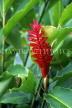 SRI LANKA, hill country, red Ginger Lily flower, SLK1752JPL