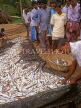 SRI LANKA, south coast, Ambalangoda, fisherman sorting catch (hauled in by nets), SLK1371JPL