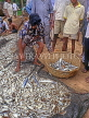 SRI LANKA, south coast, Ambalangoda, fisherman sorting catch (hauled in by nets), SLK3274JPL