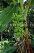 ST LUCIA, Banana plantation, fruit hanging from tree, STL618JPL