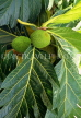 ST LUCIA, Breadfruit on tree, STL706JPL