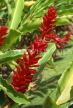 ST LUCIA, Diamond Botanical Gardens, Red Ginger plant flowers, STL740JPL