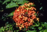 ST LUCIA, Ixora (Flame of the Woods), wild flowers, STL7026JPL