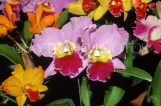 ST LUCIA, flowers, variety of Cattleya Orchids, STL769JPL