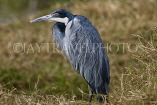 TANZANIA, Serengeti National Park, Black Headed Heron, TAN811JPL