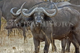 TANZANIA, Serengeti National Park, Cape Buffalo, TAN818JPL