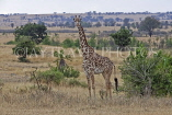 TANZANIA, Serengeti National Park, Giraffe, TAN827JPL