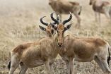 TANZANIA, Serengeti National Park, Hartebeests, TAN828JPL