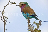 TANZANIA, Serengeti National Park, Lilac Breasted Roller, TAN830JPL
