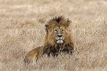 TANZANIA, Serengeti National Park, Lion resting, TAN832JPL