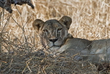TANZANIA, Serengeti National Park, Lioness resting in the shade, TAN834JPL