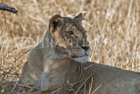 TANZANIA, Serengeti National Park, Lioness resting in the shade, TAN835JPL