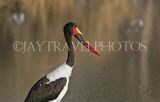 TANZANIA, Serengeti National Park, Saddle Bill Stork, TAN842JPL