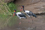 TANZANIA, Serengeti National Park, Saddle Bill Storks, TAN843JPL