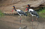 TANZANIA, Serengeti National Park, Saddle Bill Storks, TAN844JPL