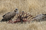 TANZANIA, Serengeti National Park, Vultures feeding on a kill, TAN848JPL